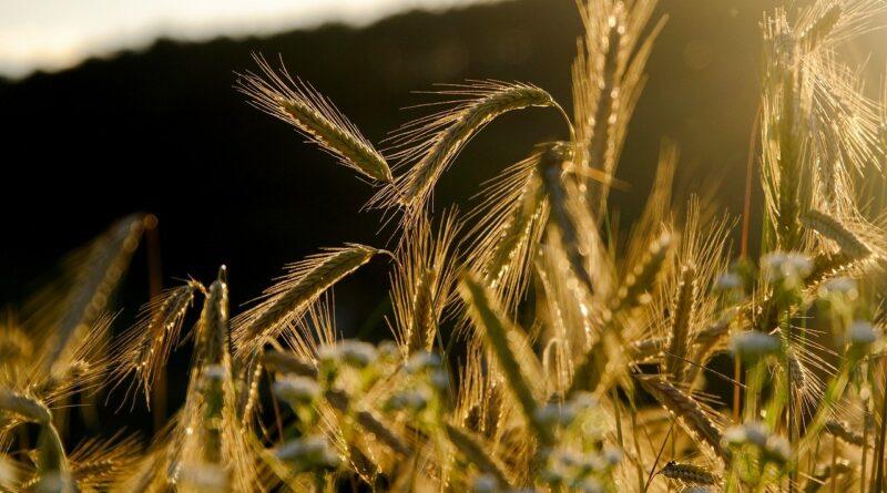 cereals, spike, barley field